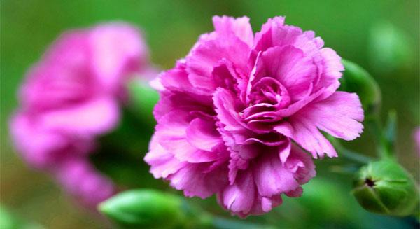 أزهار القرنفل
