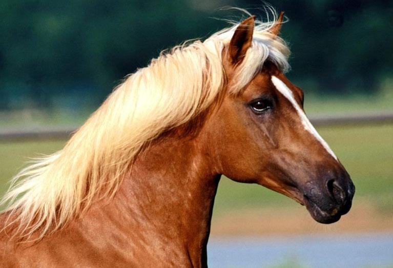 مهرجان الفروسية في مدينة الجديدة يحتفي بالحصان العربي