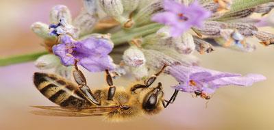 النمل أكثر ارتباطاً بالنحل