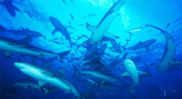 هجرة سمك القرش.. بسبب الاحتباس الحراري