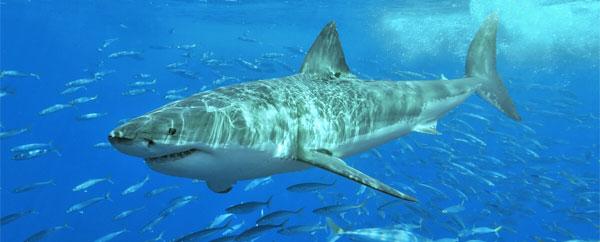 سمك القرش يكافح السرطان