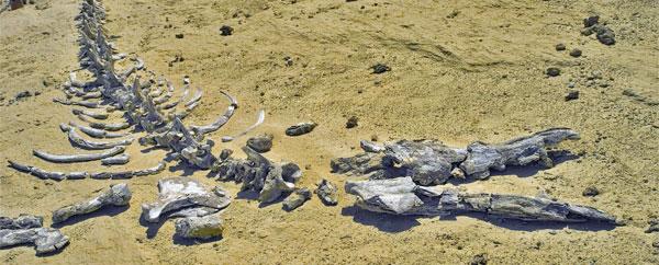 علماء يكتشفون هيكل عظمي لحوت عمره 11 مليون سنة بالمانيا