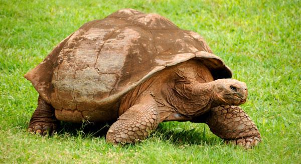 سلحفاة غلاباغوس أضخم السلاحف