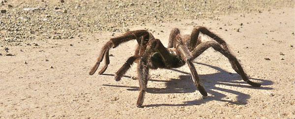 أضخم عنكبوت في العالم