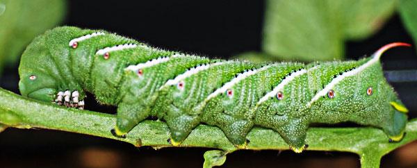 دودة تستخدم آلية دفاعية جديدة لإبعاد الحشرات المفترسة عنها