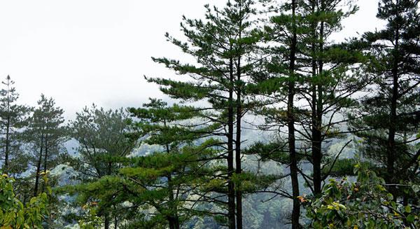 روائح غابات الصنوبر تتصدى للتغيرات المناخية