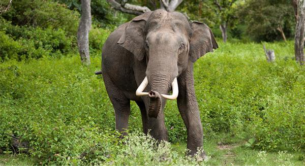 بعد 20 سنة قد تنقرض الفيلة