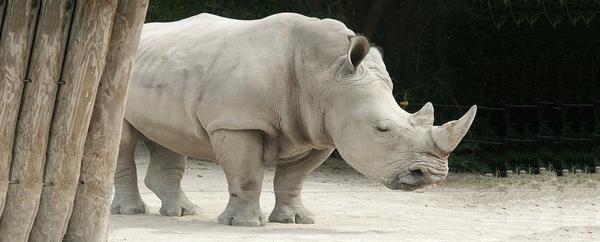 وحيد القرن الأبيض النادر على شفا الانقراض