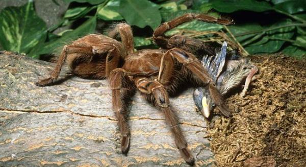 عناكب آكلة العصافير