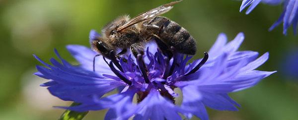 انقراض النحل بحلول عام 2035