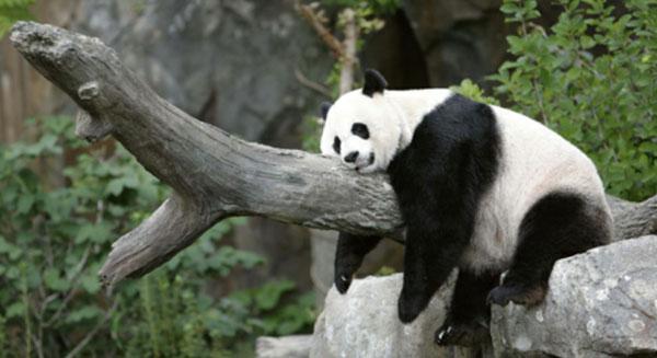 الباندا الكسول