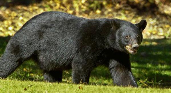 حذف دب لويزيانا الأسود من قائمة الأنواع المهددة بالخطر