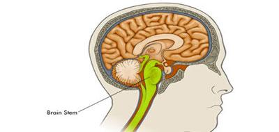 جذع المخ