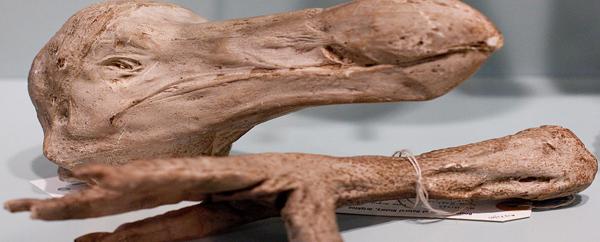 طائر الدودو من فصيلة الطيور المنقرضة
