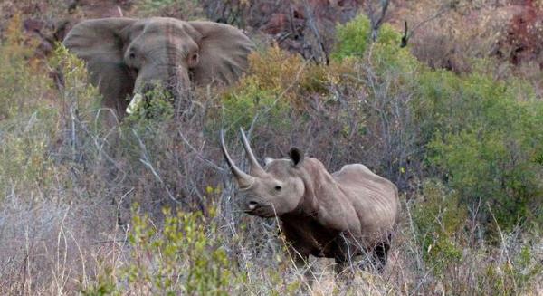 مستقبل الفيلة ووحيد القرن