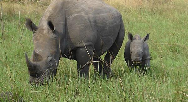 سوازيلاند ستطلب من الأمم المتحدة بيع مخزونها من قرون وحيد القرن