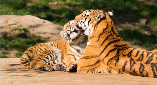 النمور المقتولة في الهند